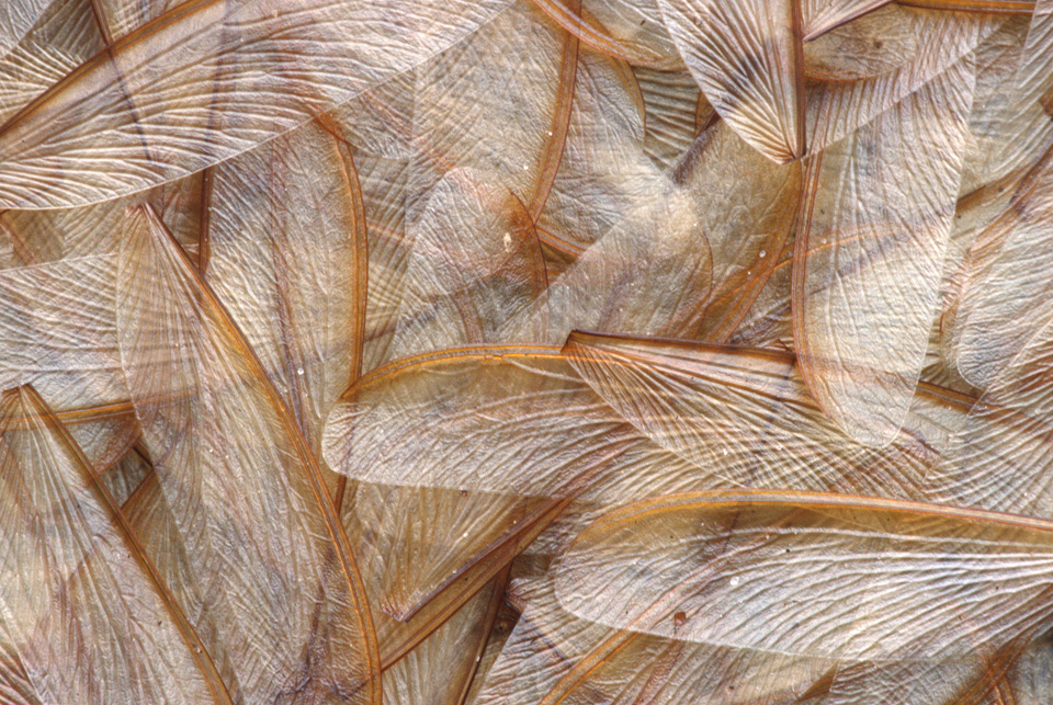 Wings Shed by Termite Alates