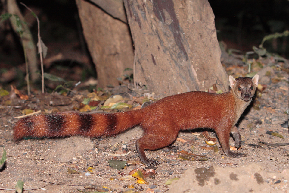 Malagasy Ring-tailed Mongoose