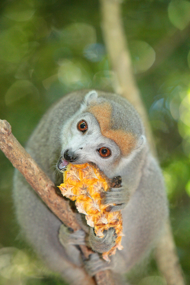 Female Crowned Lemur