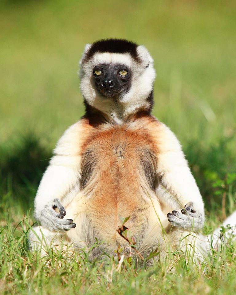 """""""Buddha Lemur"""""""