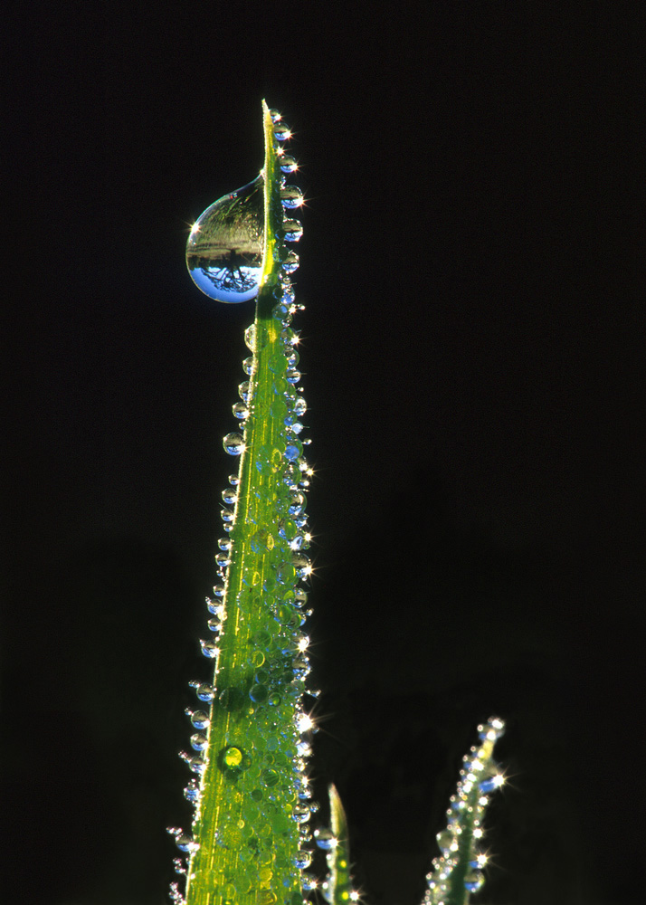 Oak Tree Refracted in Dewdrops