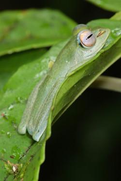 Bright-eyed Frog