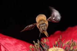 Honeybee Hovering Over Poppy
