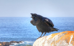 Common Raven Cawing, Salt Point