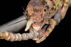 Short-horned Chameleon Feeding