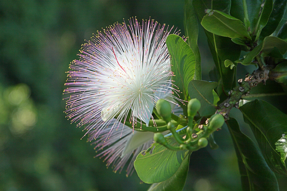 Powder-puff Tree Blossom, Madagascar