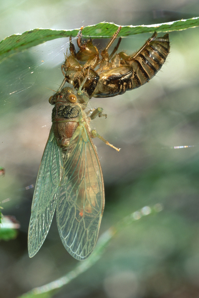 Cicada Emerging from Exuvia