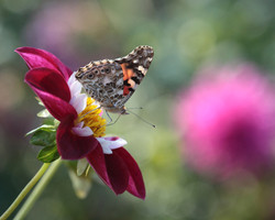 """Painted Lady"" Butterfly on Dahlia"