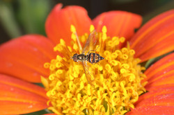 Syrphid Fly, Hoverfly, or Flower Fly