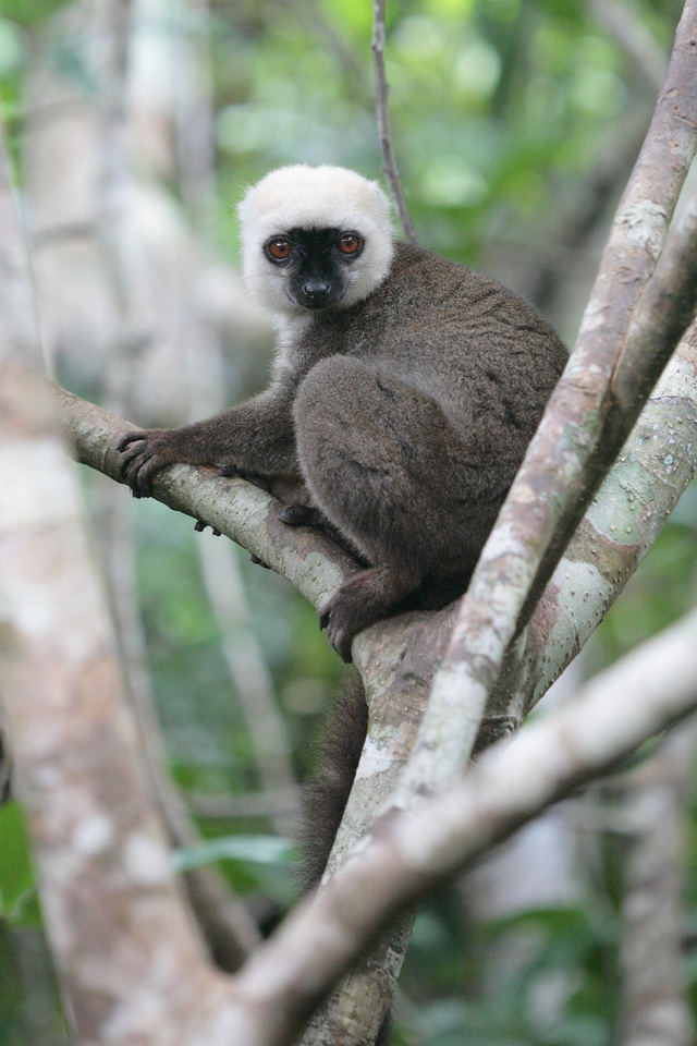 Male White-fronted Brown Lemur