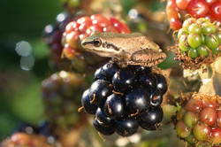Pacific Treefrog on Blackberry