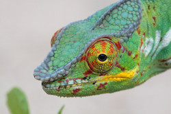 Male Panther Chameleon (♂)