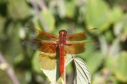Flame Skimmer Dragonfly (Libellula saturata)