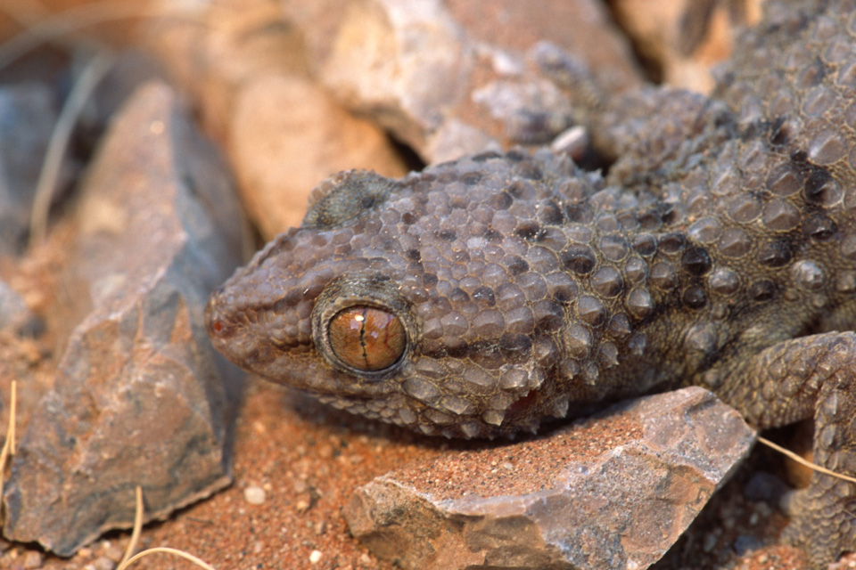 Bibron's Thick-toed Gecko