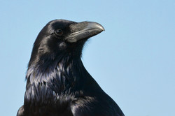 Common Raven (Corvus Corax), Salt Point