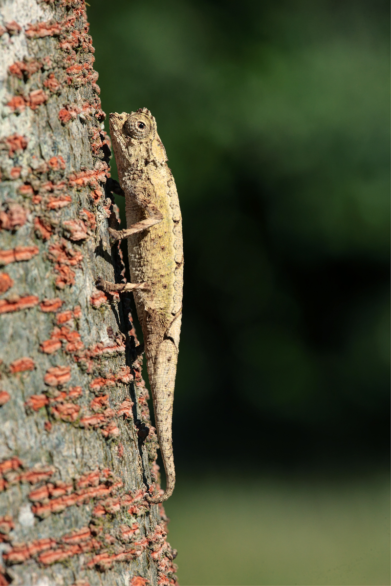 Amber Mountain Leaf Chameleon