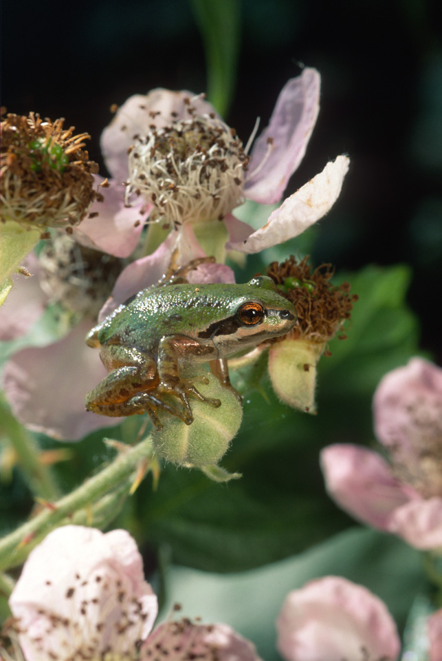Pacific Treefrog, Blackberry Blossom