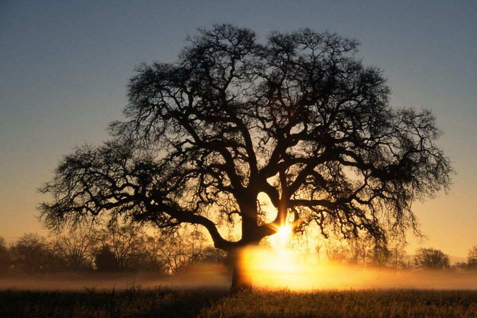Valley Oak Tree in Fog at Dawn