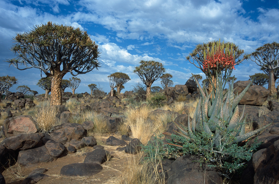 Kokerboom Forest, Namibia