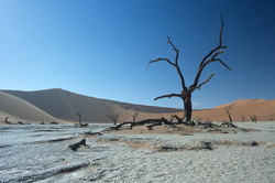 Camel Thorn Tree at Deadvlei