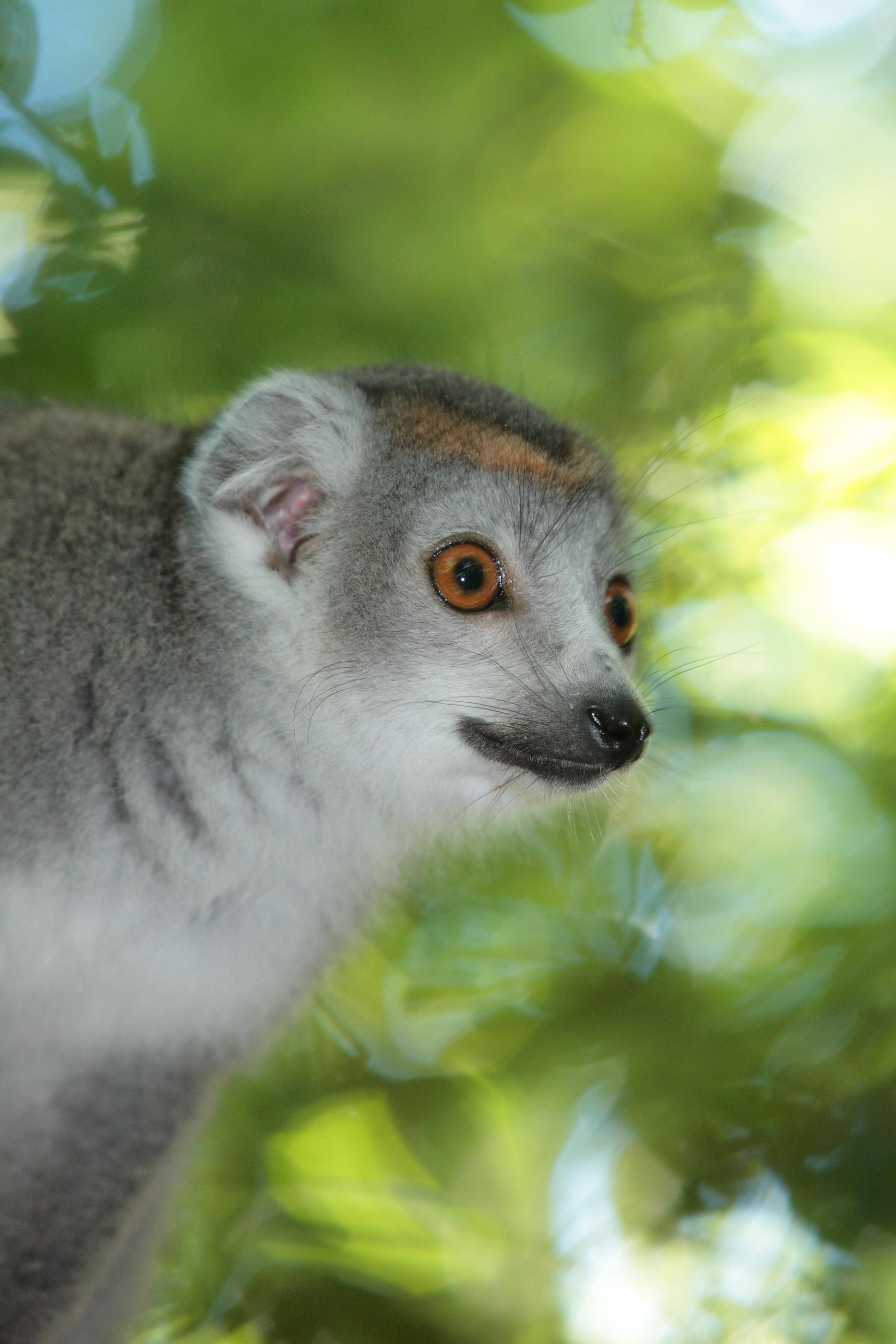 Male Crowned Lemur