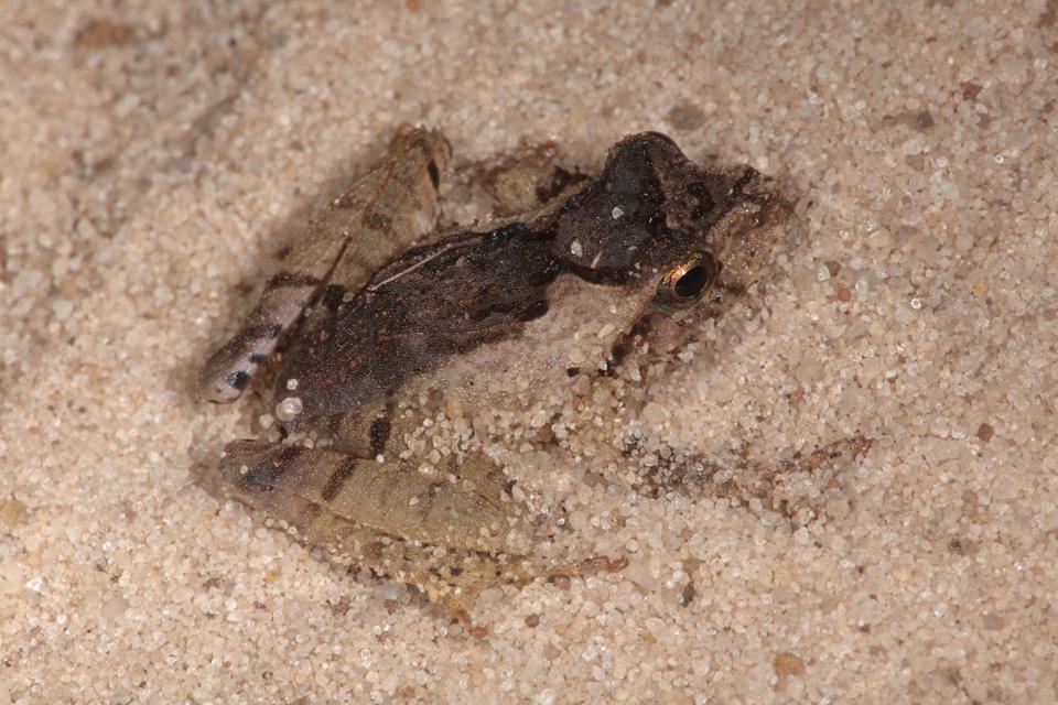 Mascarene Ridged Frog in sand