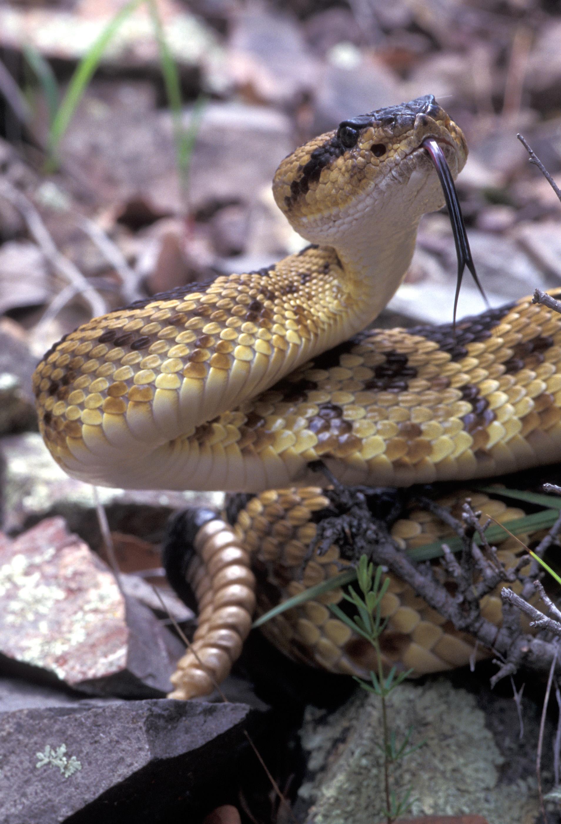 Northern Black-tailed Rattlesnake
