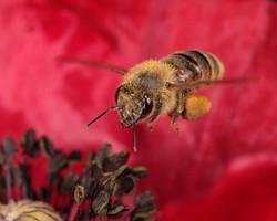 Honeybee Hovering Pollen