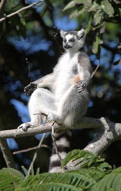 Ring-tailed Lemur Sunbathing