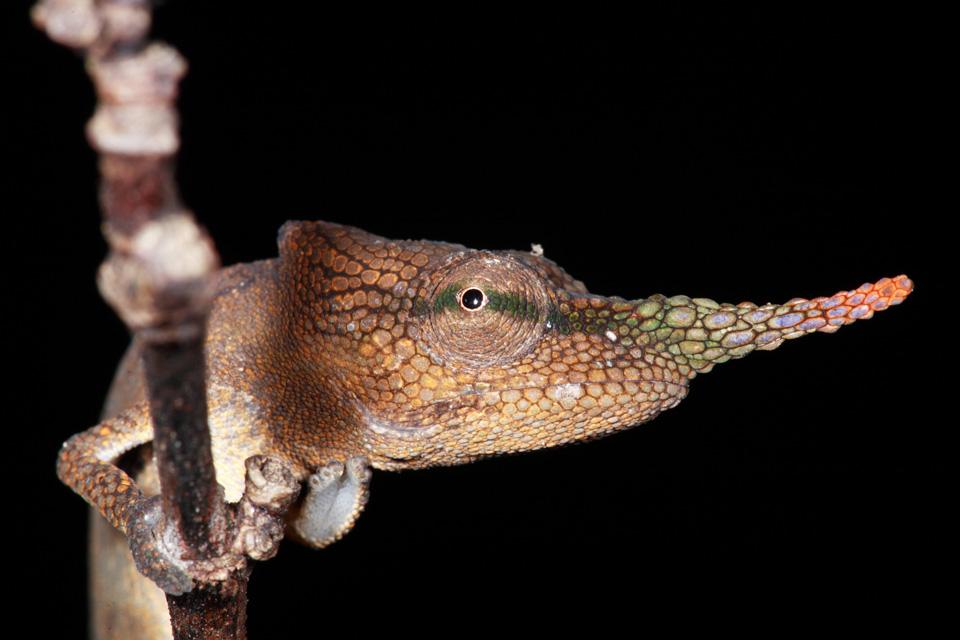 Lance-nosed Chameleon at Night