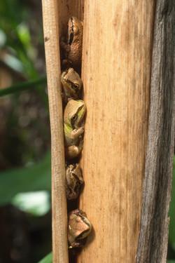 Pacific Treefrogs