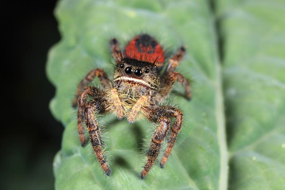 Johnson's Jumping Spider