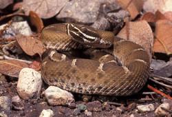 Ridge-nosed or Willard's Rattlesnake