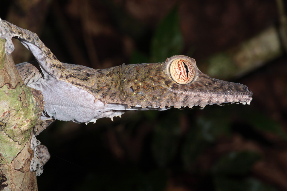 Common Leaf-tailed Gecko