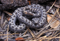 Twin-spotted or Price's Rattlesnake