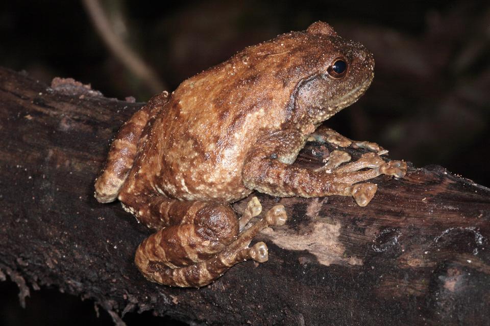 Boulenger's Giant Treefrog