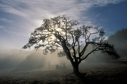 Oak at Dawn