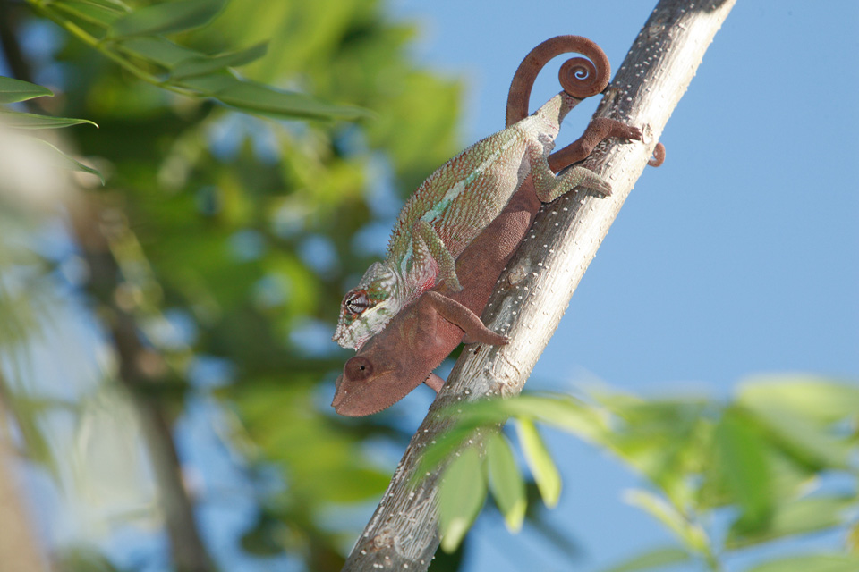 Mating Panther Chameleons