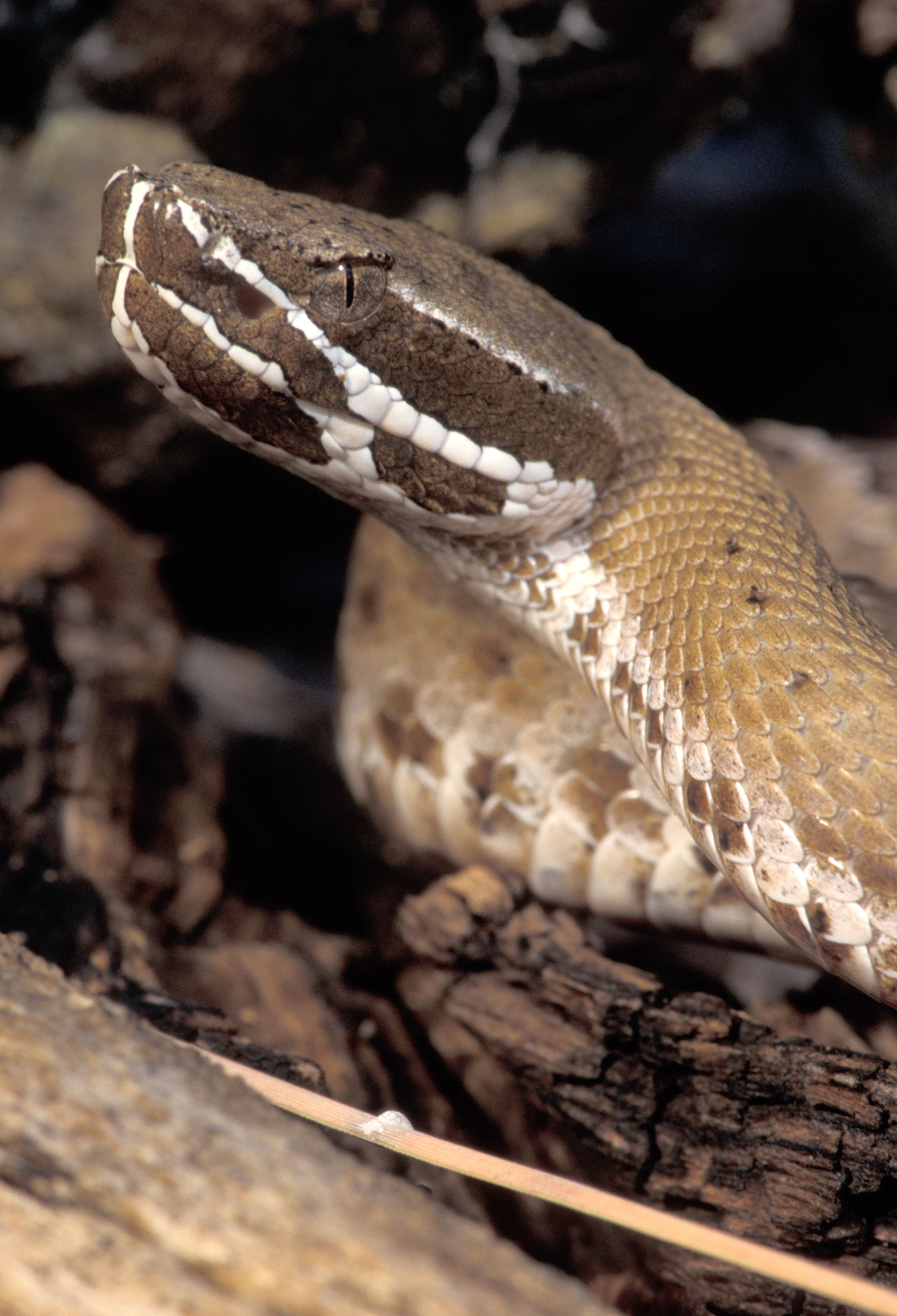 Ridge-nosed or Willard's Rattlesnake