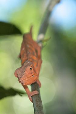 Female Panther Chameleon (♀)