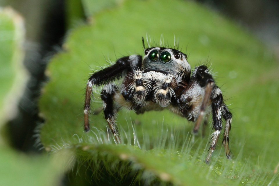 Madagascar Jumping Spider