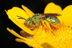 Ultra Green Sweat Bee