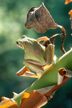 Pacific Treefrog on Madrone