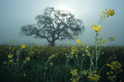 Valley Oak with Mustard