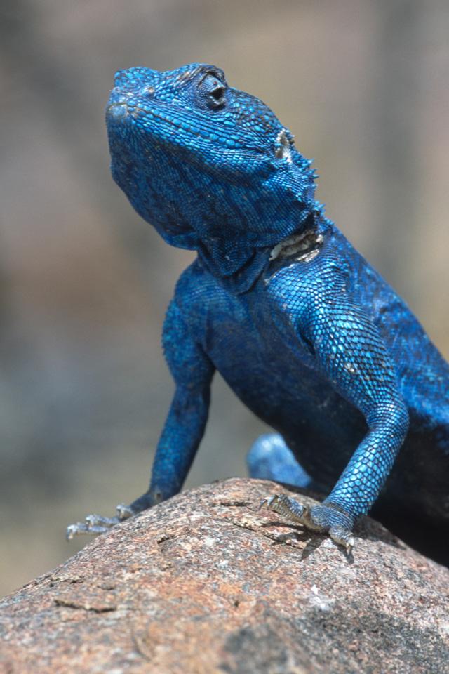 Blue Agama