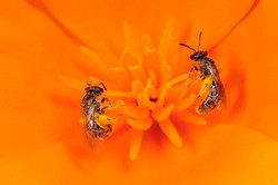 Sweat Bees on California Poppy