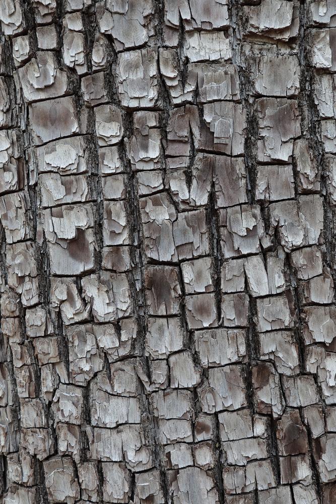 Alligator Juniper Tree, close-up