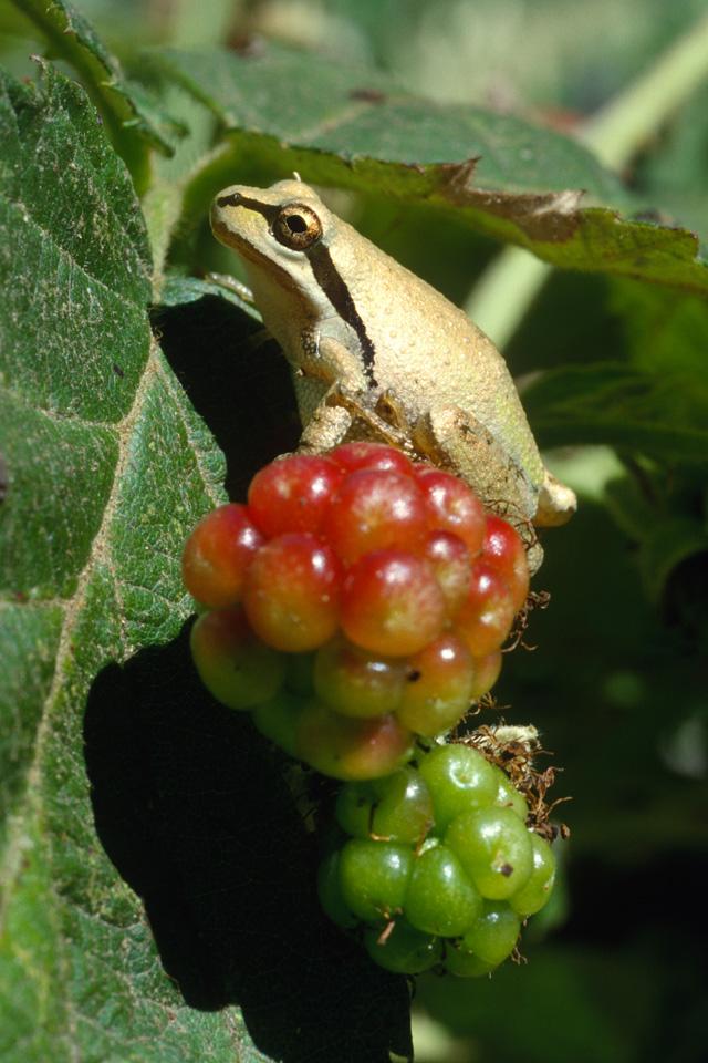 Pacific Treefrog on Blackberry