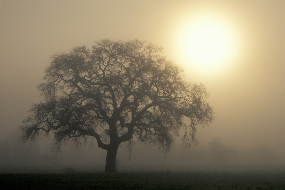 Valley Oak Tree in Foggy Dawn