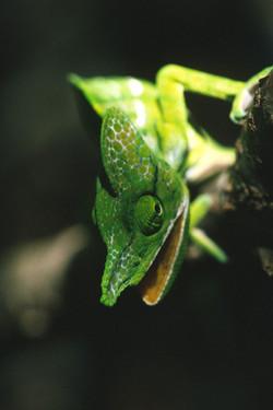 Labord's Chameleon